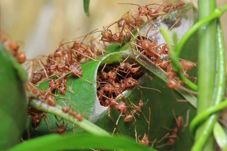 cara mengusir semut api