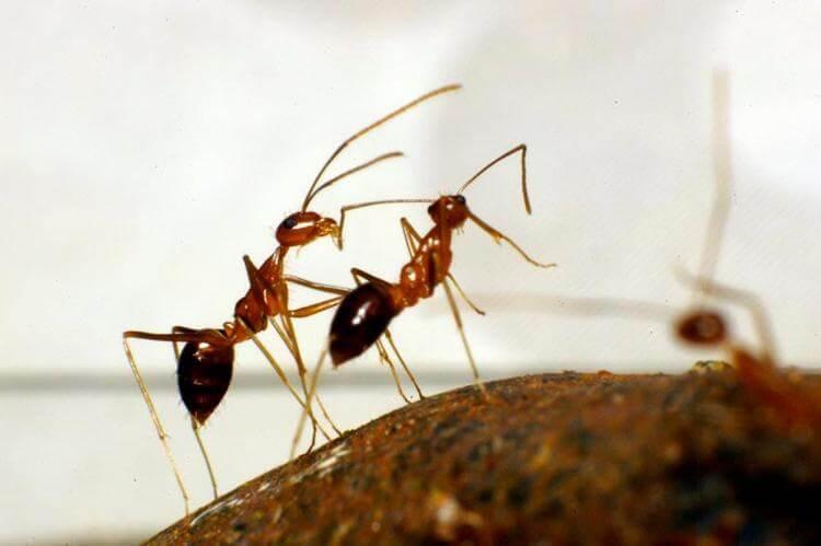 cara mengusir semut merah