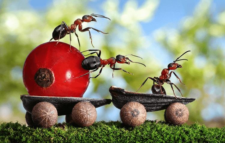 cara mengusir semut rangrang