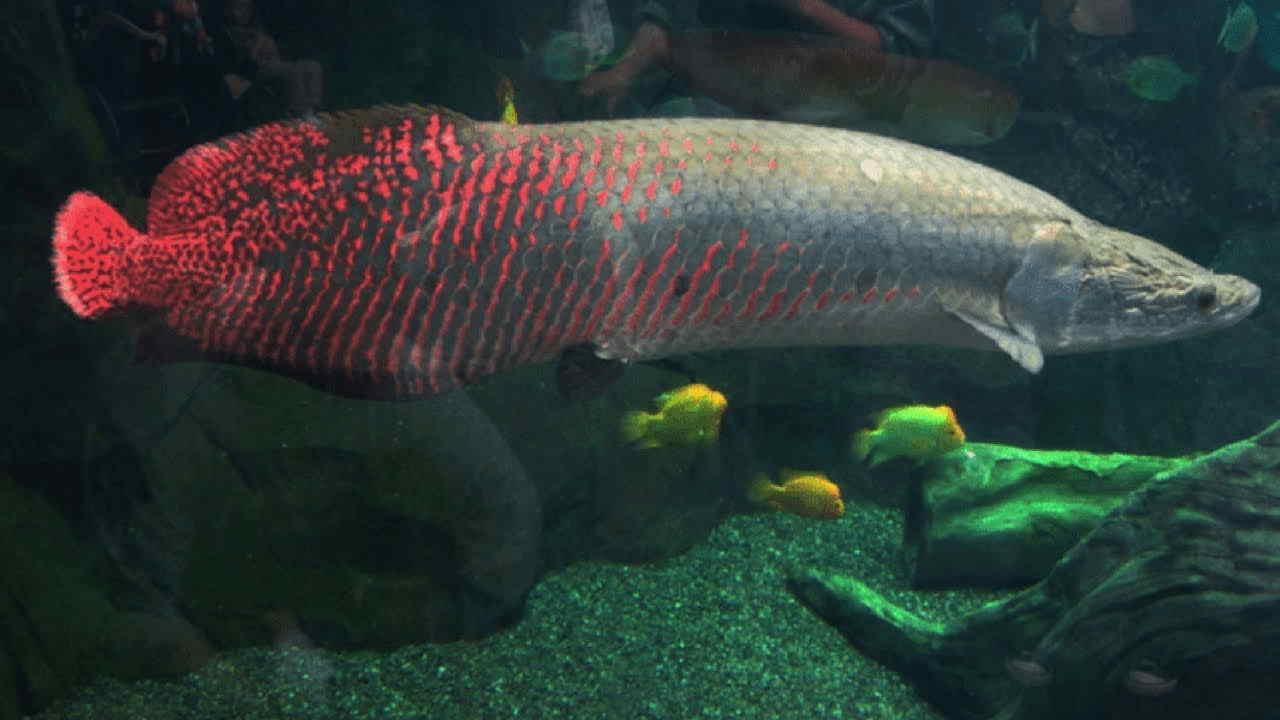 Ikan arwana dan gambarnya
