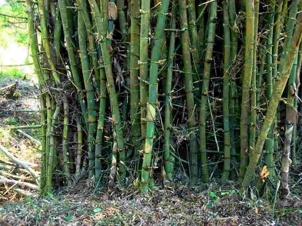 Jenis-jenis bambu
