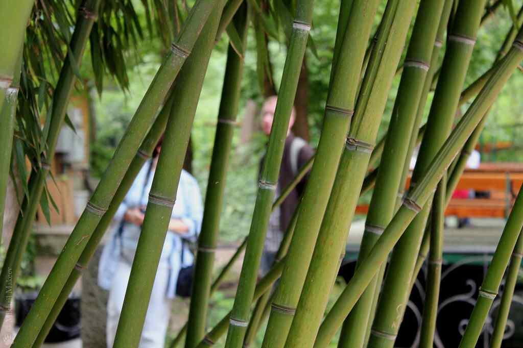 Bambusa glaucescens