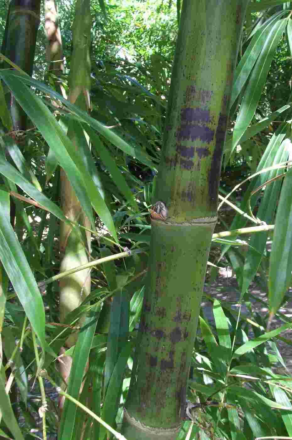 jenis jenis bambu yang perlu kamu tahu