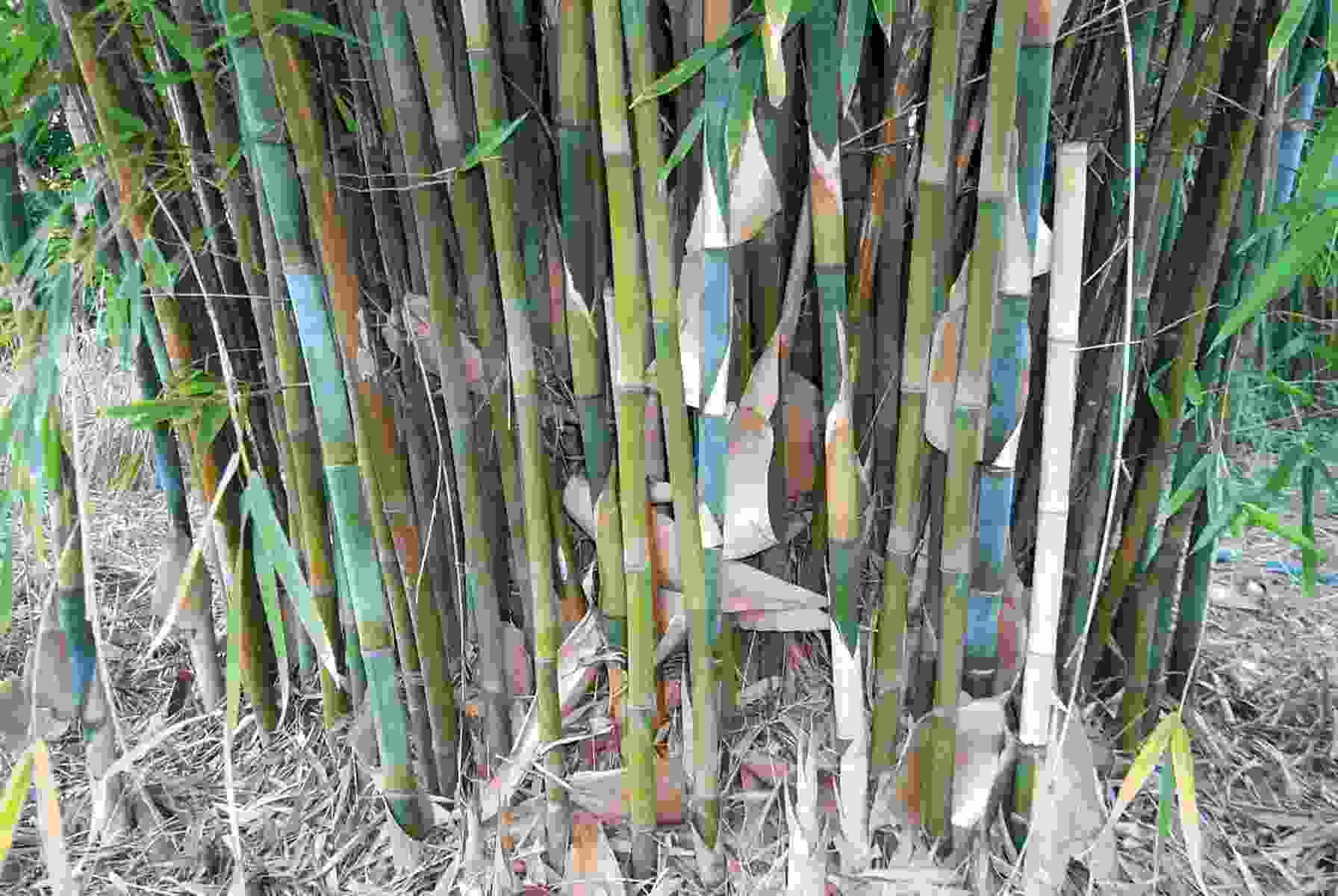 Bambusa tuldoides