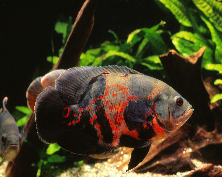 Jenis-jenis ikan hias air tawar