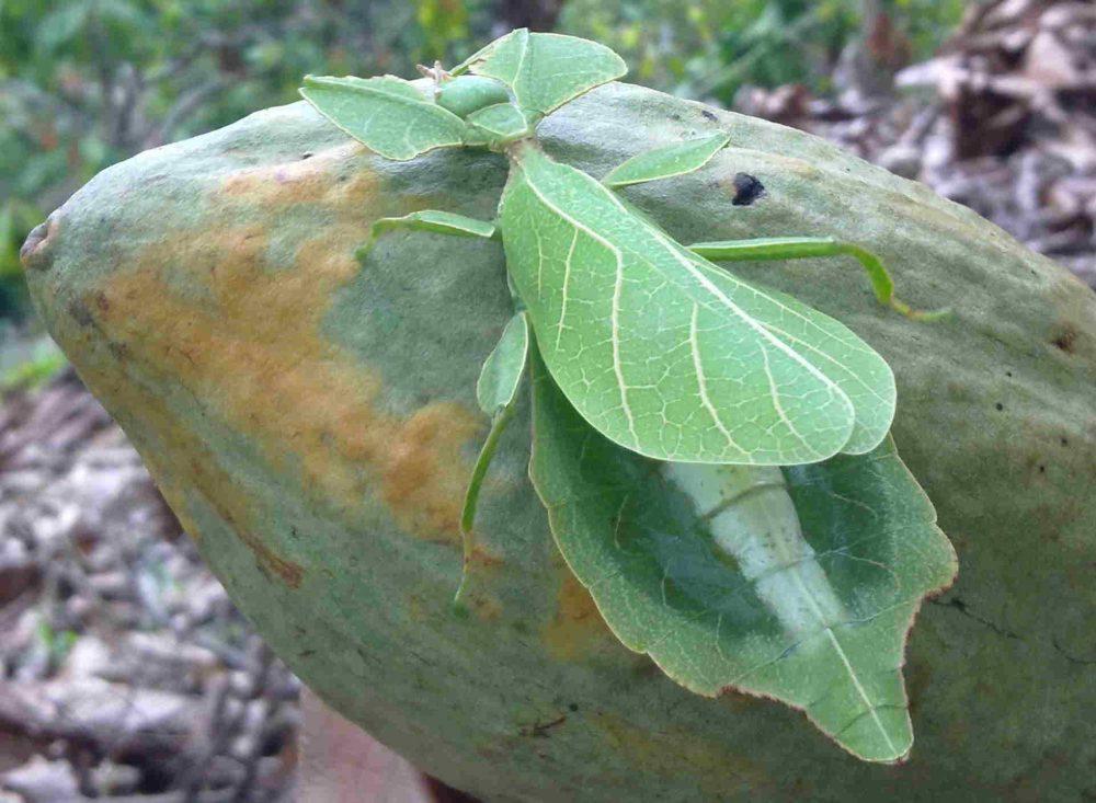 belalang daun