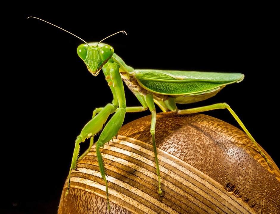 anatomi belalang