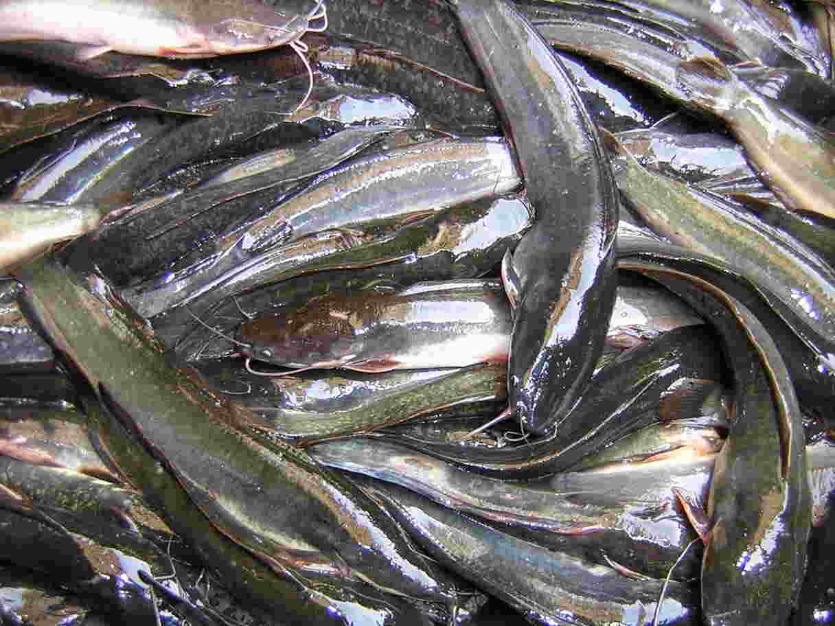 Ikan lele phyton