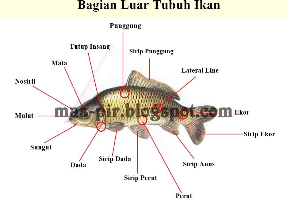 Morfologi Ikan dan Bagian-bagiannya, Lengkap dengan Gambar