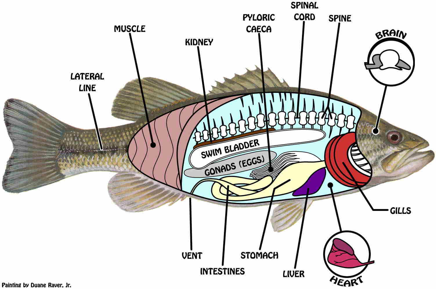 morfologi internal ikan lele