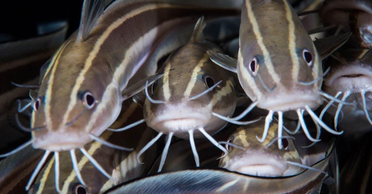 morfologi ikan lele