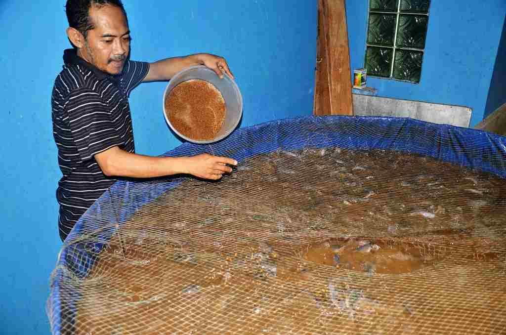 pemberian pakan ikan lele bioflok